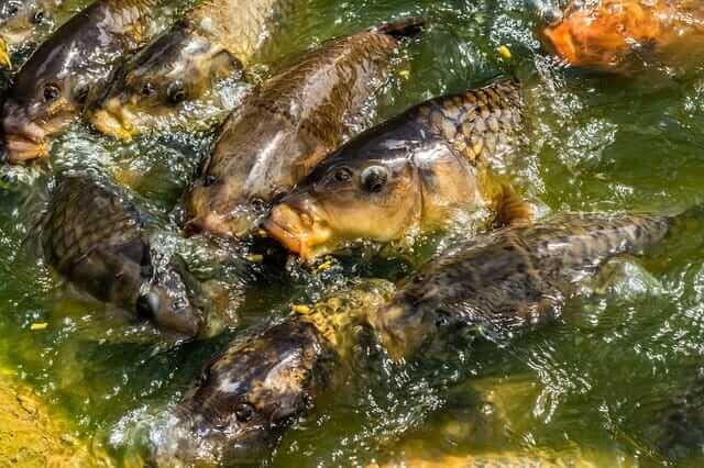 Carp Behavior when spawning