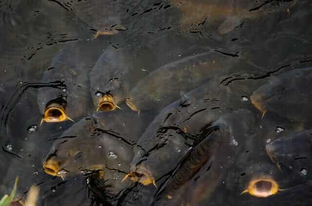 Do carp spawn more than once a year