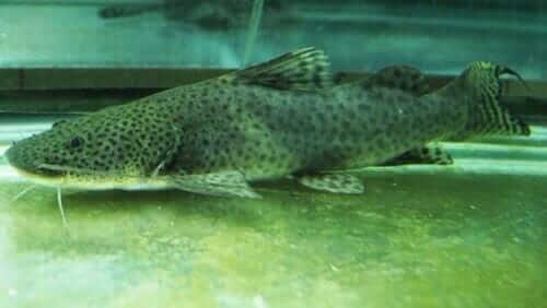 Jua Catfish