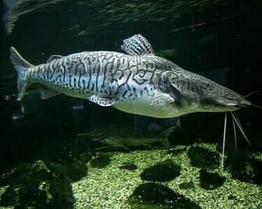 Tiger Shovel Fish