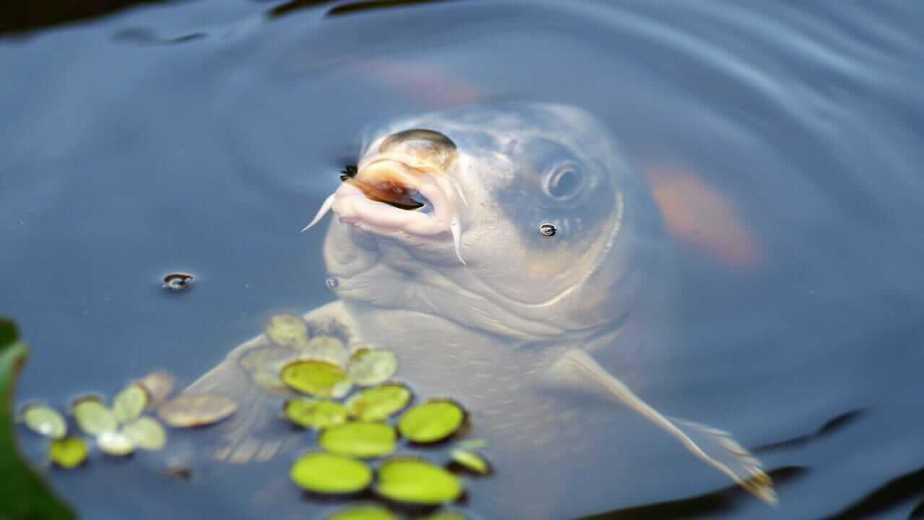 When do carp spawn