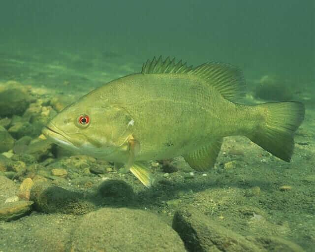Bass fish underwater shot