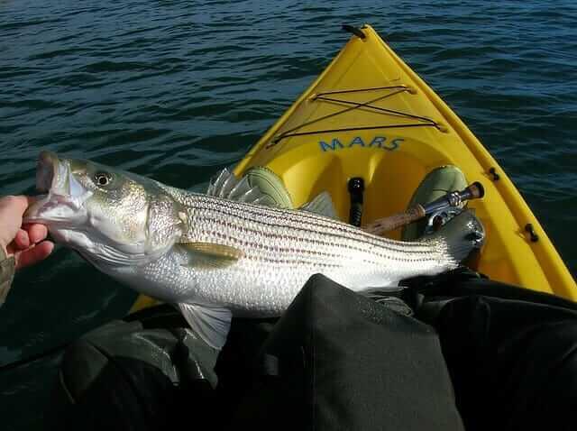Great Bass