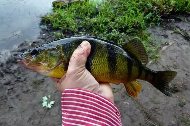 CATCHING PERCH FROM SHORE