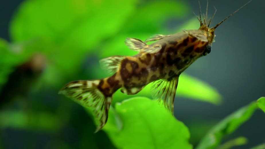 Synodontis Nigriventris swimming upside down