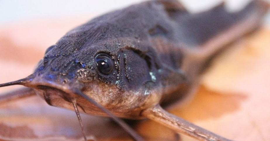 Catfish with whiskers