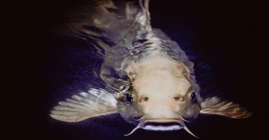 Bottom dweller catfish